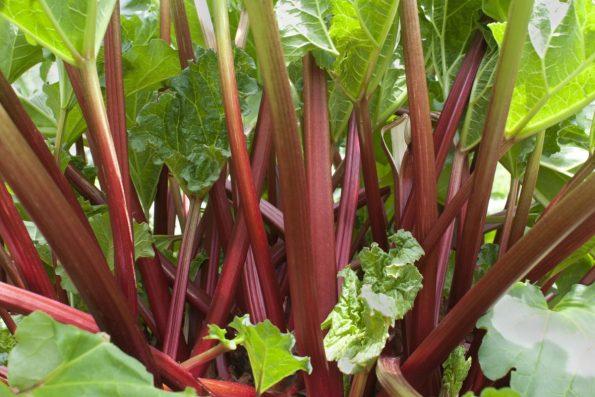 Rhubarbe au jardin