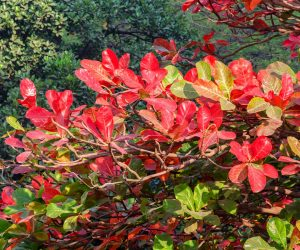 Badamier ou amandier d'Inde à feuilles rouges