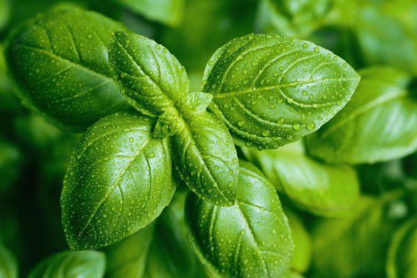 plante aromatique : basilic Hortus Focus