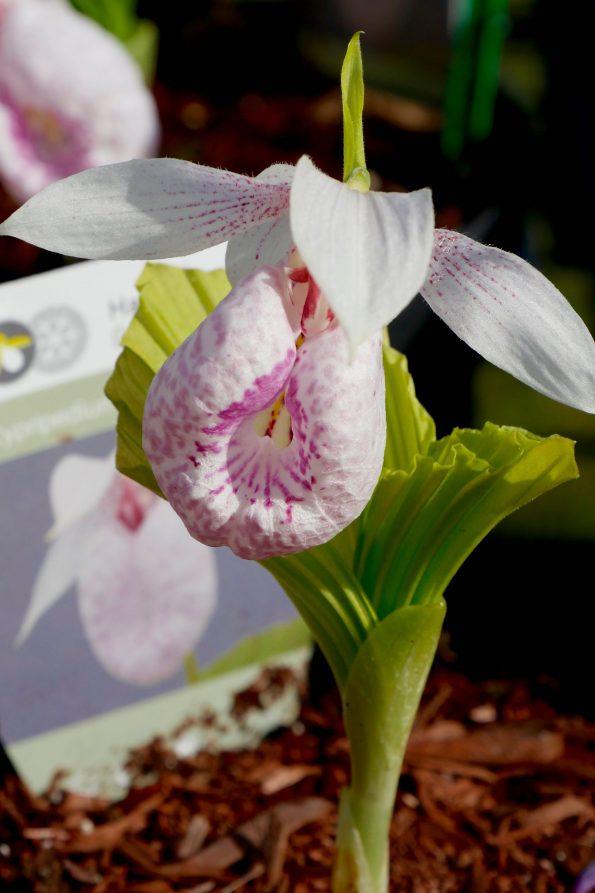 orchidée terrestre