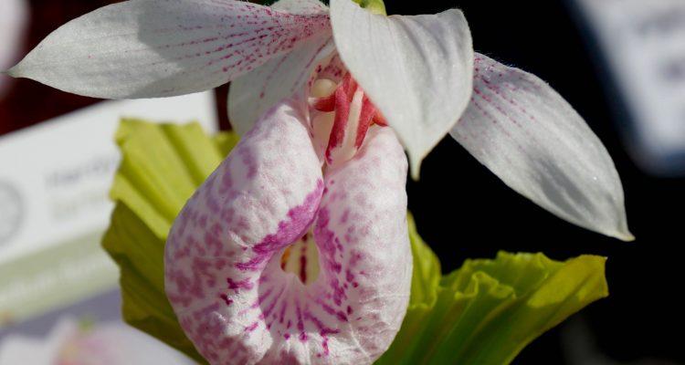 orchidee terrestre