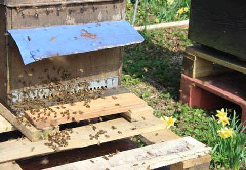 Abeilles devant la ruche