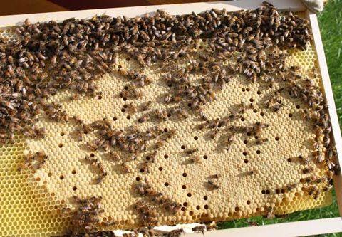 Les abeilles sur le cadre avec le miell