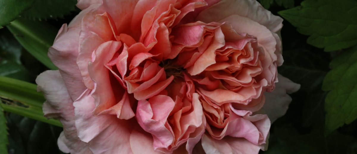 Rose : Sweet Annie