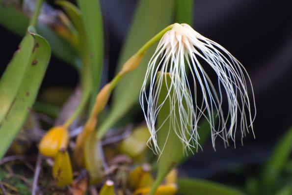Bulbophyllum