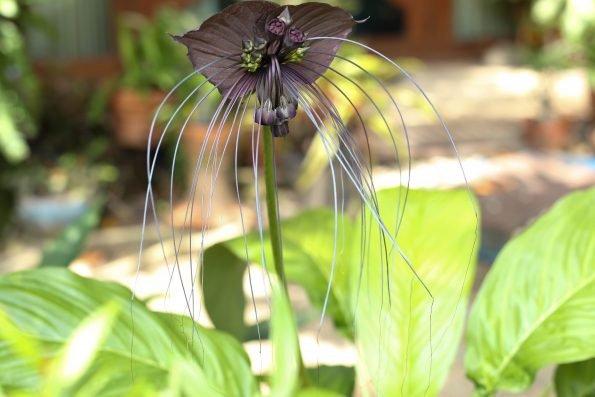plante chauve-souris