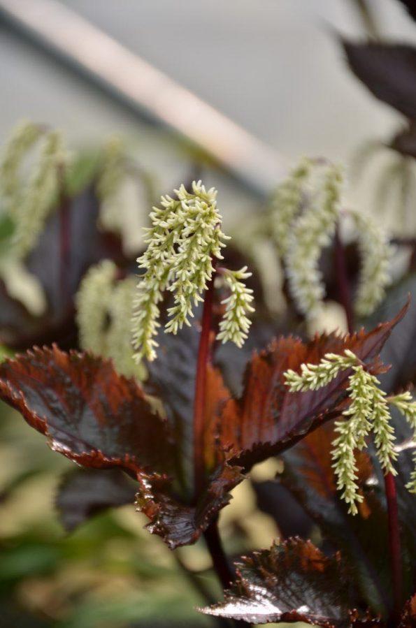 cloranthus fortunei domino