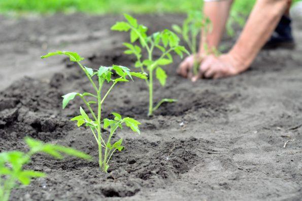 Comment planter des tomates - Hortus Focus I mag