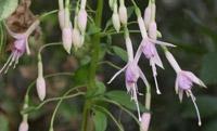 1000236-chaville-jardin-isa-fuchsia-whitenights-pearl