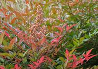 bambou-sacre-p1030331-automne-baies-creuse-jardins-en-marche-nandina-domestica