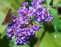 Buddleia arbre aux papillons