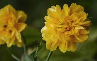 corete-du-japon-kerria-japonica-908514-200px
