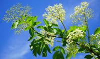 fleur-de-sureau-black-elderberry-474752-200px