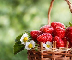 fraises - Hortus Focus