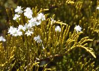 boutures de l'été : Véronique arbustive