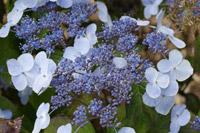 boutures de l'été : hortensia