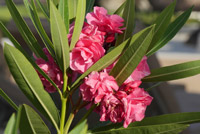 boutures de l'été : laurier rose