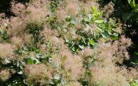 les-arbres-du-monde-cotinus-coggygria-arbre-a-perruque