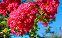 boutures de l'été : lilas des Indes