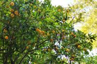 boutures de l'été : oranger du Mexique
