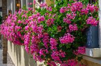 boutures de l'été : pelargonium