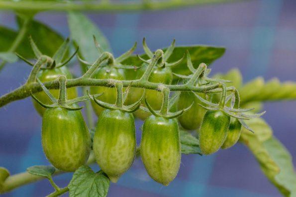 faire mûrir les tomates vertes   hortus focus i mag