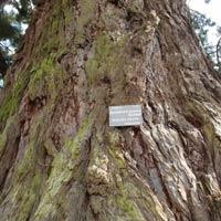 Sequoia géant : arbre remarquable