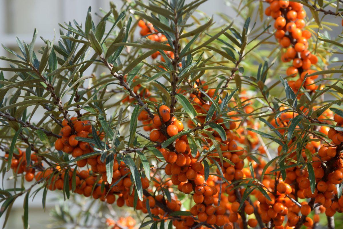 Petits fruits : hippophae