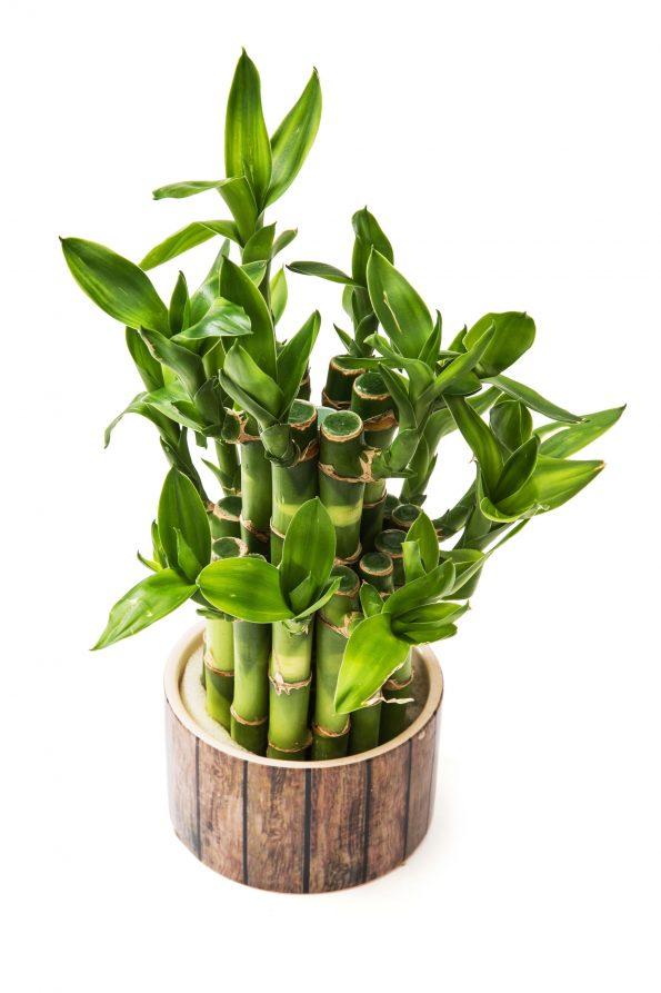 Un Lucky Bambou Pour Noel Hortus Focus I Mag