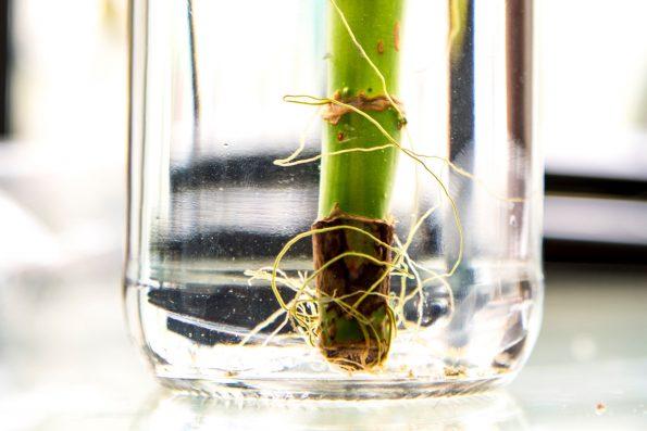 Mini bambou exterieur beautiful entretenir et soigner un bambou en pot with mini bambou - Lucky bambou acheter ...
