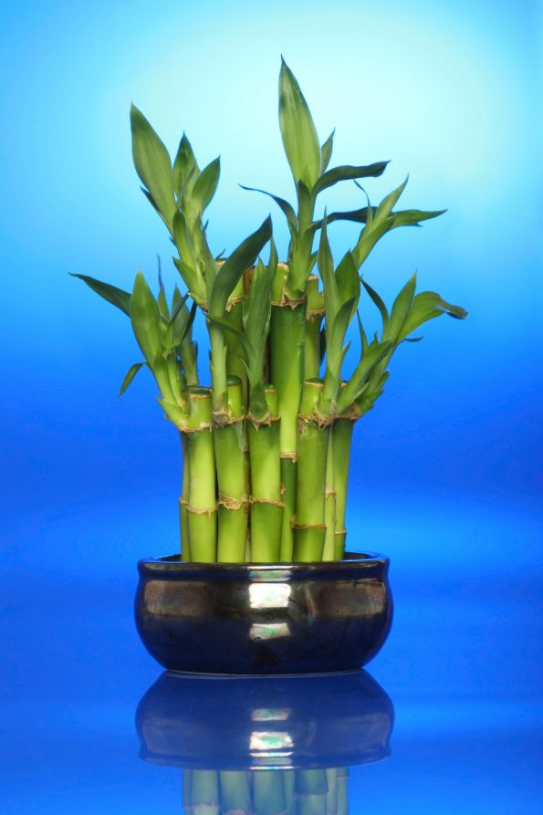 bambou porte bonheur trendy quatre dputs de fleurs des bambous with bambou porte bonheur cheap. Black Bedroom Furniture Sets. Home Design Ideas