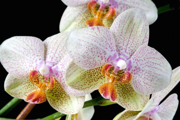 Journée mondiale de l'orchidée : phalaenopsis