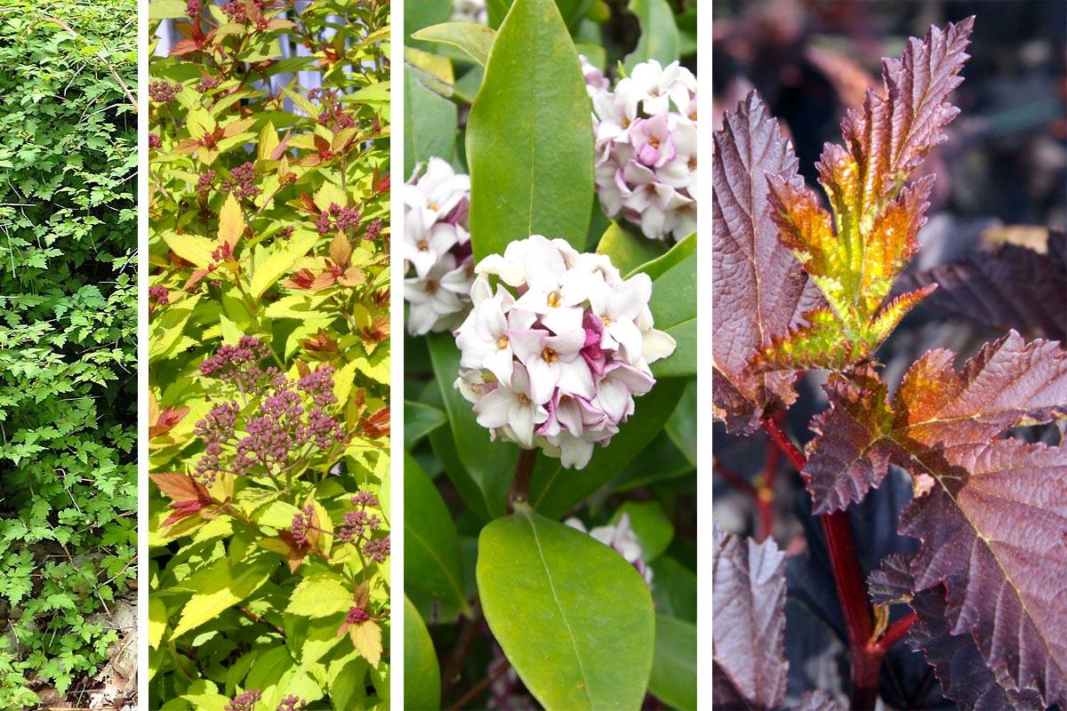 Bac Pour Arbuste De Jardin 4 arbustes pour petit jardin, terrasse et balcon - hortus