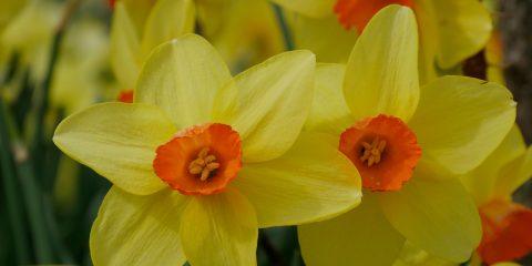 narcisse - narcissus - jardin de Berchigranges