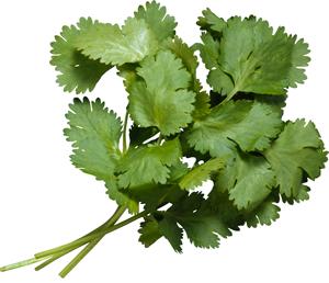 plante aromatique : bouquet de coriandre