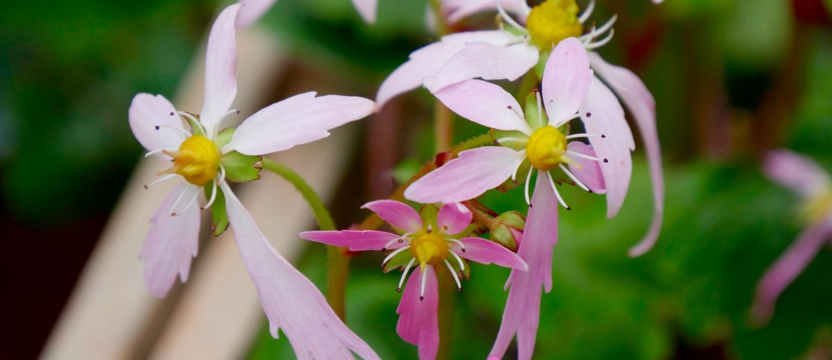 saxifrage de Fortune