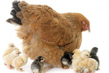 Poule et poussins Brahma