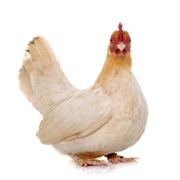 poule chabo