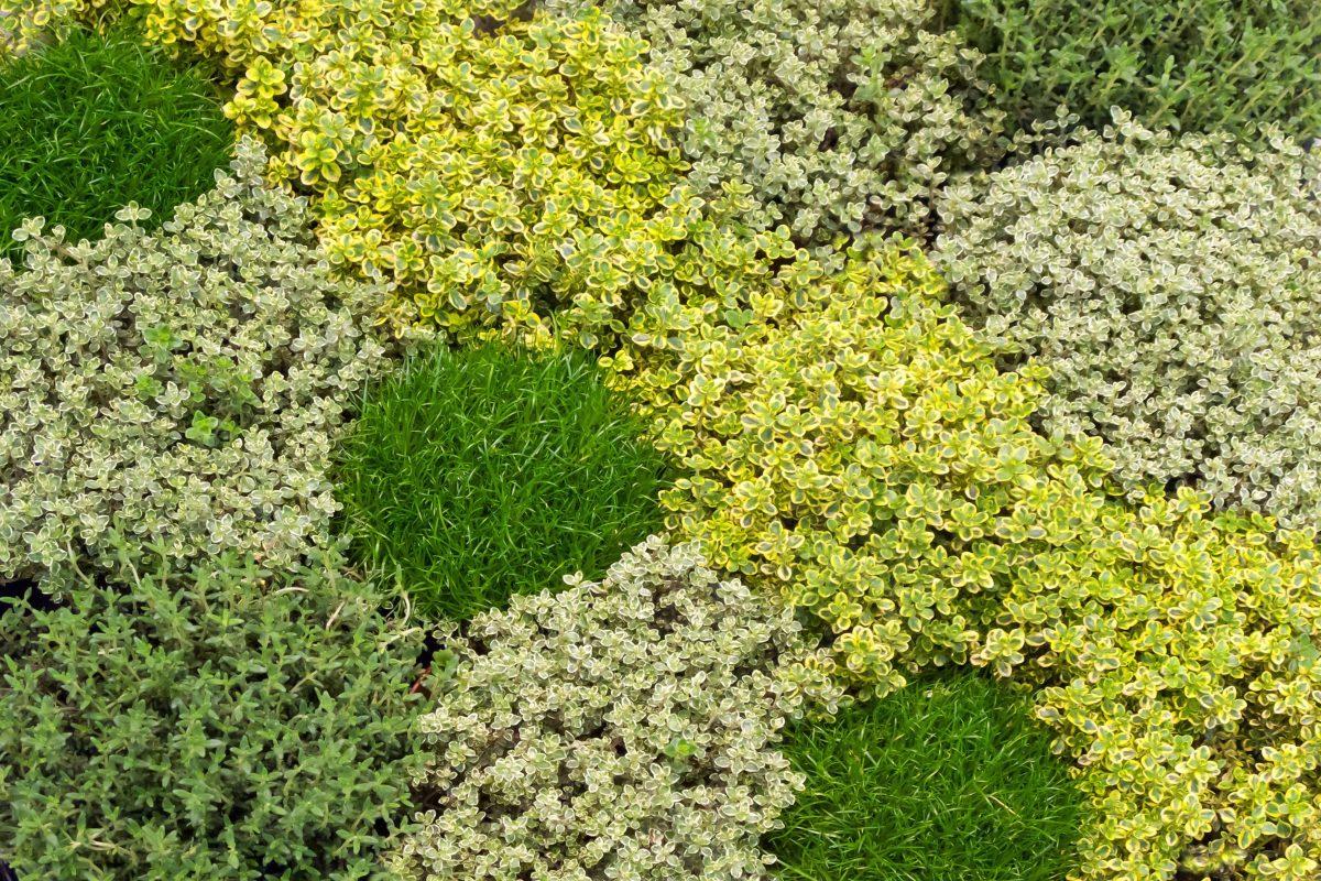 Différentes Variétés De Thym du thym au jardin, en pot et en cuisine ! - hortus focus i mag