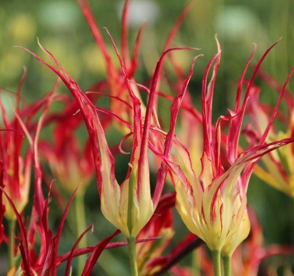 tulipe cornue