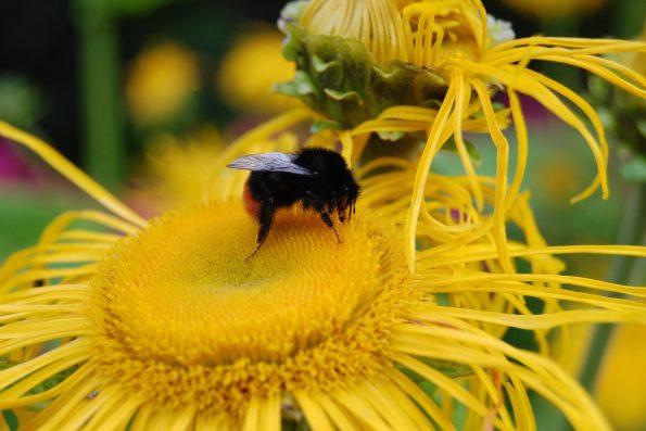 Insectes : bourdon