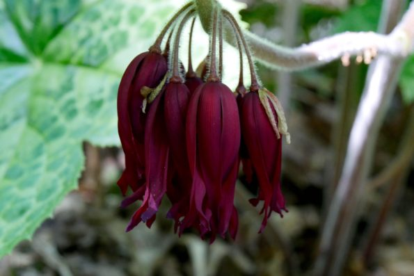 podophyllum fleurs