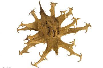 griffe du diable, Harpagophytum procumbens