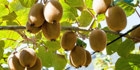 Arbre fruitier - Kiwi