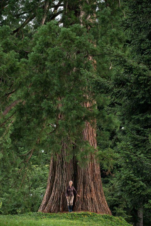 Arbres : séquoia