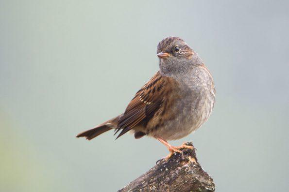 comptez les oiseaux : l'accenteur moucheté - Hortus Focus