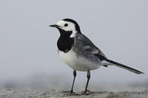 comptez les oiseaux : la bergeronnette grise- Hortus Focus