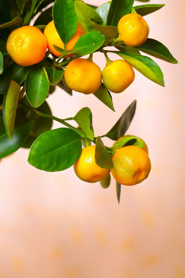 oranger d'appartement : Calamondin - Hortus Focus