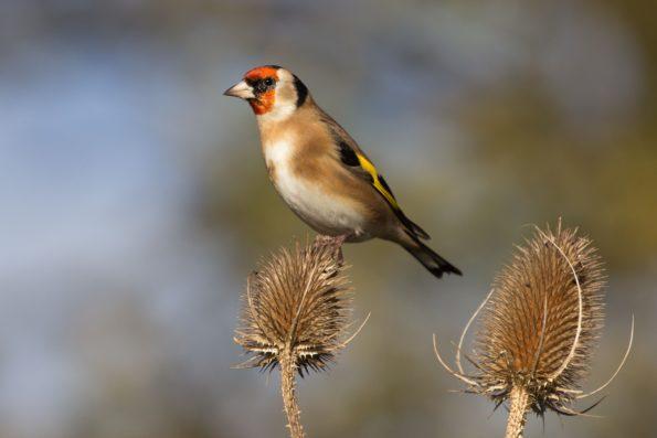 comptez les oiseaux : le chardonneret élégant