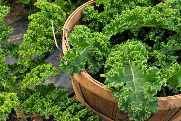 Plante indéfrisable : chou kale